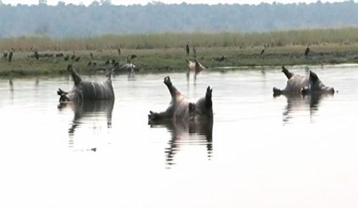 237-hippos-2
